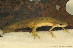 Notophthalmus viridescens: Eastern Newt (Todd W Pierson) Tags: amphibian salamander todd eastern newt pierson notophthalmus notophthalmusviridescens redspottednewt amphibia easternnewt caudata viridescens salamandridae taxonomy:binomial=notophthalmusviridescens paedogenesis paedogenic toddpierson