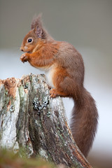 264 - Red Squirrel (Sera.D.) Tags: red orange tree squirrel branch tail ears bark redsquirrel