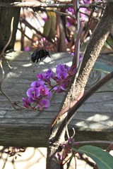 Bees and Hardenbergia