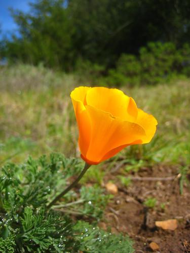 California Poppy Photo