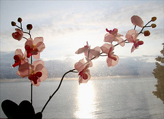No Orchids for MisterJ   ~ MjYj (MjYj) Tags: world sea woman orchid reflection texture love beauty book pretty time stage femme 19thcentury charlesdarwin reflet amour tropical species tones lovestory complex reflets 1939 orchide remarkable decade popularity classique became sixweeks mechanisms crosspollination jameshadleychase romannoir robertaldrich horticulturists thegrissomgang londonswestend 100commentgroup neverfading saariysqualitypictures mjyj noorchidsformissblandish bestsold kidnappeurs despotique mmangrisson amouraveugle