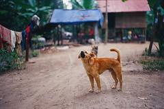 (NateVenture) Tags: leica travel dog history film analog zeiss temple cambodia rep rangefinder angkorwat adventure siemreap exploration ikon lux summilux rf 5014 zi アンコールワット カンボジア zm mmount 앙코르와트 プノンペン シェムリアップ ncps 캄보디아 northcoastphotographicservices leica50mmf14summiluxm 심수확