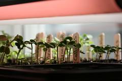 seedlings 135