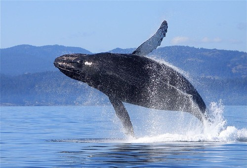 Humpback breach Malleson