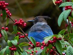 Steller's Jay (Bob Gunderson) Tags: sanfrancisco california goldengatepark nature birds northerncalifornia wildlife stellersjay