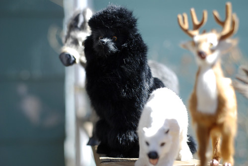 black poodle hair pet