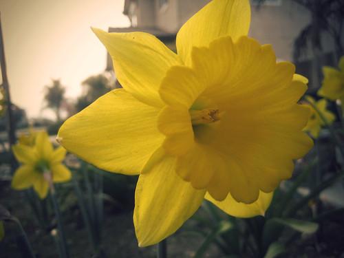 {58:365} Daffodil