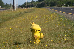 Yellow Flowers and Hydrant (wyborny) Tags: ocean birthday hydrant weekend best september western shores 2009 dandlelions