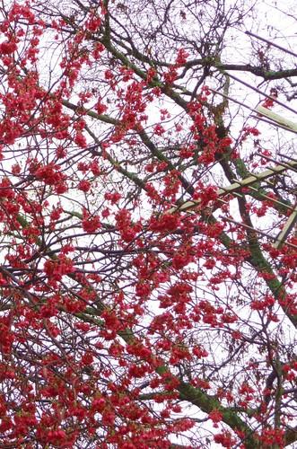Taiwanese Cherry