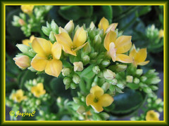 Kalanchoe blossfeldiana (Christmas Kalanchoe, Florist Kalanchoe, Flaming Katy) with yellow flowers, at a garden nursery