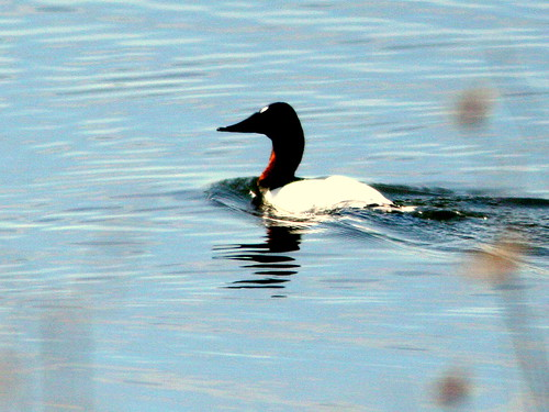 Canvasback 20100316