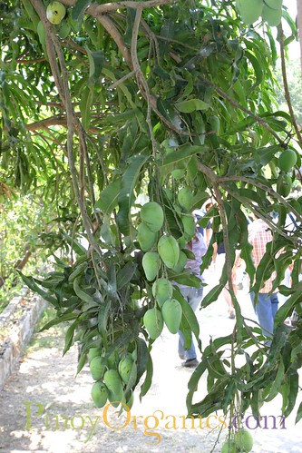 Prado Farm-mangoes