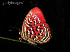 88752882 (Mangiwau) Tags: red mountain butterfly scarlet dark insect sumatra indonesia rainforest quiet bright eerie images jungle silence tropical getty deaf total common aceh range stillness indonesian equatorial sumatran gettyimages patterned darkest barisan deafness