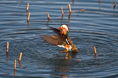 Mandarin Duck (by niklausberger)