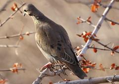 Eared Dove (mostevens) Tags: grenada eareddove taxonomy:binomial=zenaidaauriculata taxonomy:common=eareddove