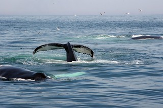 Whale watching in Cape Cod