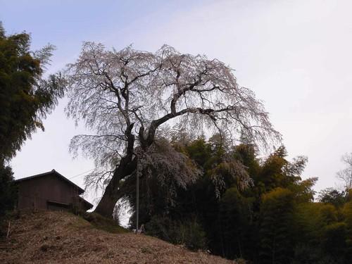 【桜】丘の上のシダレザクラ『満願寺八講桜』@桜井市