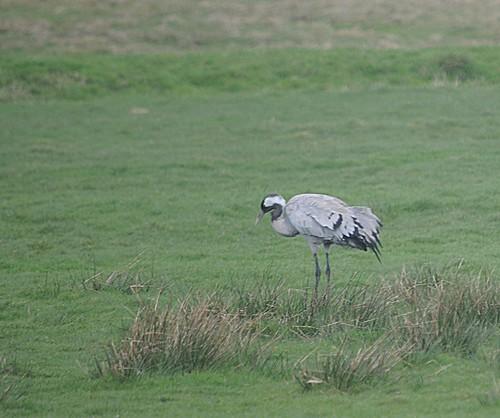 common crane4