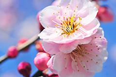 umeblossoms (mitsuteru) Tags: umeblossoms