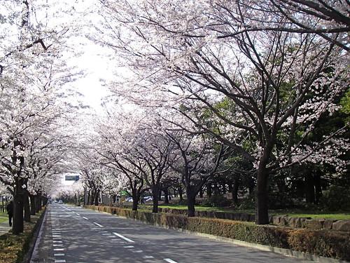 Sakura lined street
