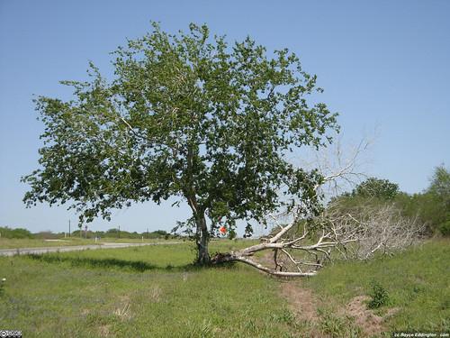 Survivor Tree 5