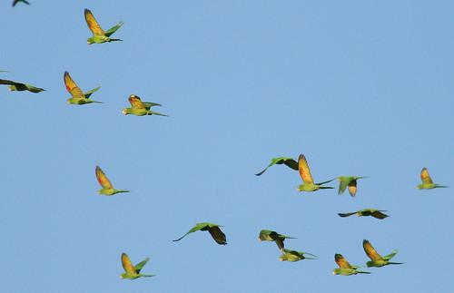 animals asas birds Brazil sky maritacas Psittacidae voo Papagaio Maitaca-verde