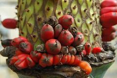 Hortus Leiden (Snoeziesterre) Tags: flowers red plants catchycolors seed rood tropics planten bloemen tropisch vruchten zaden
