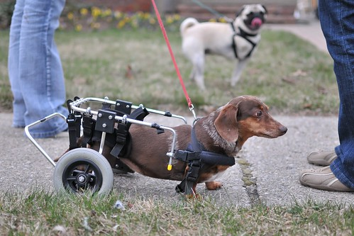 dog wheelchair - DSC_9601dxo1