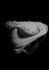 tulip b&w with droplets (josephjphoto) Tags: plant flower nature garden drop tulip droplet tulipa liliaceae
