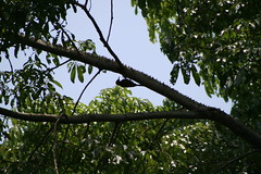 "Apr08_ DR Trip_ Bot Garden_ woodpecker upsidedown • <a style=""font-size:0.8em;"" href=""http://www.flickr.com/photos/30765416@N06/4520911552/"" target=""_blank"">View on Flickr</a>"