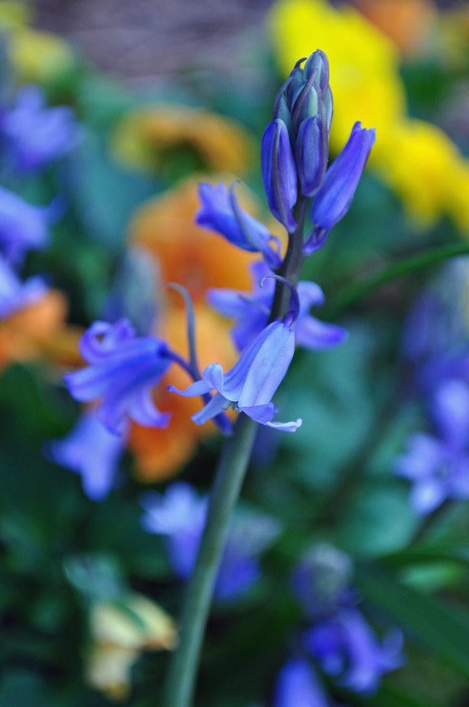Hyacinthoides hispanica (Spanish Bluebells)