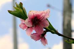 per fare tutto ci vuole un fiore!!! (lucia bianchi) Tags: nature natura peachflower civuoleunfiore naturethroughthelens fioredipesco allegrisinasceosidiventa theauthorsplaza gfeffe macrofloreali fleurdepeche dedicataaigiardinidicuifaccioparte virgiliogf