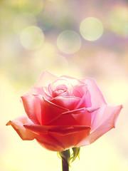 Pretty like a princess    (mintukka) Tags: pink flower texture rose yellow petals soft bokeh pastel gift pinkrose pinkness happyday bokehdots