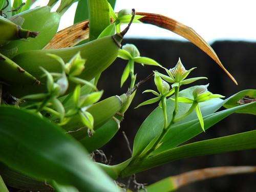Orquídeas (8)