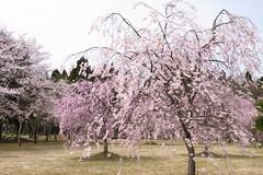 しだれ桜@越前陶芸公園