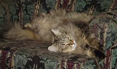 I'm very bendy (Alaidh...PLEASE CHANGE IT BACK!!!) Tags: cute yoga cat heidi tabby kitty fluffy cuddly mainecoon vokra