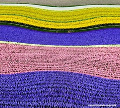 Landscape composition - The Netherlands (JanvanSchijndel) Tags: pink flowers holland art netherlands colors field yellow contrast photoshop canon landscape purple patern lisse 50d