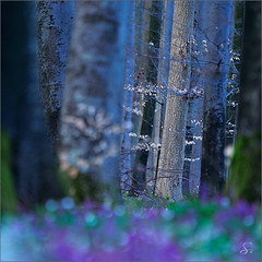 the hue of night (Sandra Bartocha) Tags: blue trees night forest spring twilight nacht dmmerung wald bume corydalis frhling frhblher lerchensporn