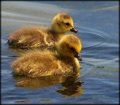 Spring means new life~ (Piscesgirl2~) Tags: blue ontario canada cute nature water birds geese spring babies sweet feathers goslings birdwatcher bej diamondclassphotographer flickrdiamond olympuse620 mothernaturesgreenearth