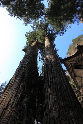 SUGI / Cryptomeria japonica / 矢立杉(やたてのすぎ)