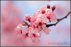 Flowering Red Plum (GFletch -- persistently behind :)) Tags: pink blue flower macro blossom bokeh northcarolina jonesville canonef28135is redplum canon40d