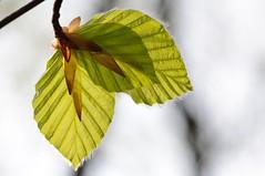 Buchenbltter im Gegenlicht (SjurWarEagle) Tags: frhling gegenlicht buche