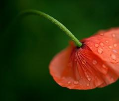 Baby Poppy II (Nazra Zahri) Tags: red orange green home japan petals stem nikon raw small micro poppy raindrops nikkor wildflower okayama 2010 105mm 105mmf28gvrmicro d700 nikkor105mmf28gvrmicro