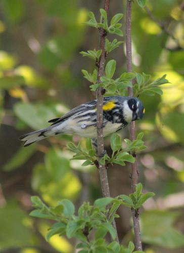 Yellow-rumped Warbler // Myrtle Warbler