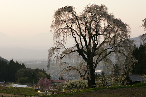 A big weeping cherry tree
