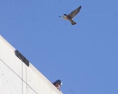 Clara & Zeka-IMG_3625-crop (gimlack) Tags: clara birds peregrinefalcon falcoperegrinus 100400 sanjosecalifornia bandingday