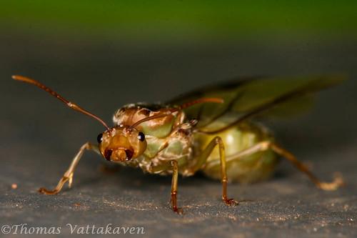A weaver ant queen