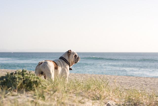 Homer Bulldog