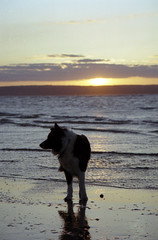Evening Indy (Mike & Indy) Tags: sunset dog beach dogs true ties evening is collie with border indy bond the llanfairfechan lasting