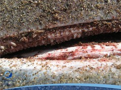 cmaximus18 (Tiburones Chile) Tags: chile peregrino diversidad biodiversidad especieamenazada tiburonperegrino sabiasquedescubre